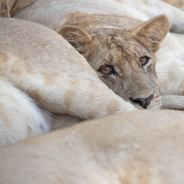 """""""Young Lion resting"""" stock image"""