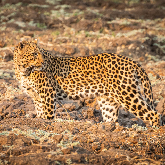 """""""Leopard on the look out"""" stock image"""
