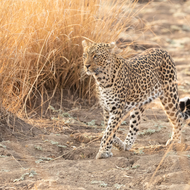 """""""Leopard on the march"""" stock image"""