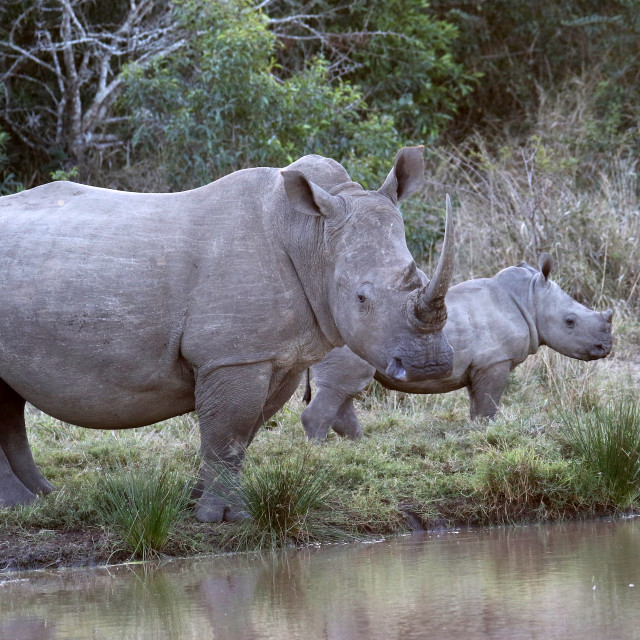 """""""Mother and calf White rhinoceros"""" stock image"""
