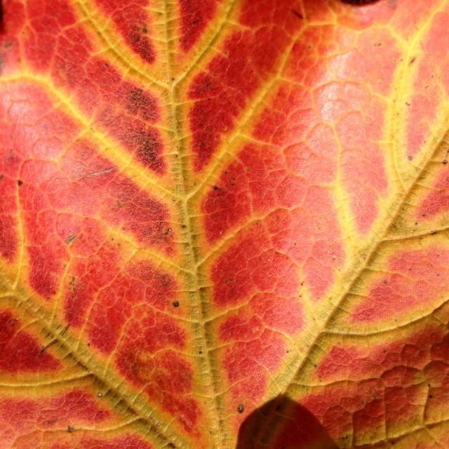 """Autumn Maple Leaf"" stock image"