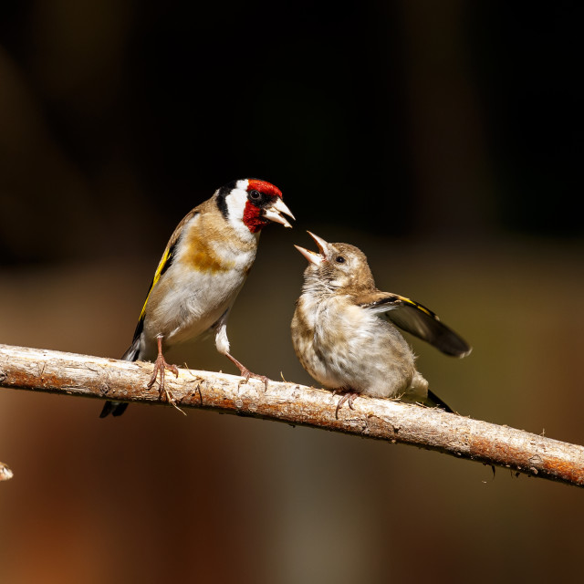 """An European goldfinch feeding its fledgling"" stock image"