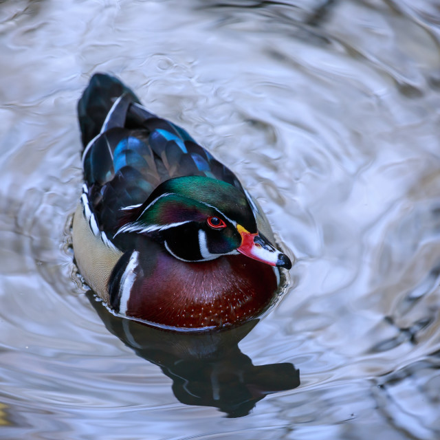 """A Wood duck in silvery water"" stock image"