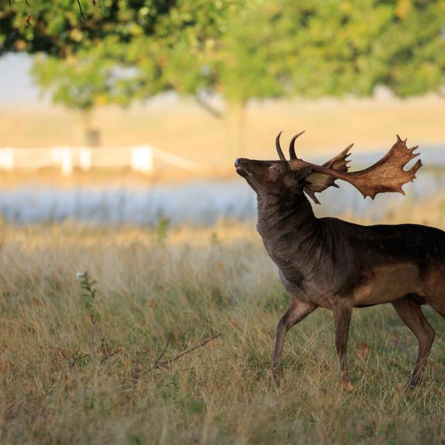 """""""A melanistic fallow deer"""" stock image"""
