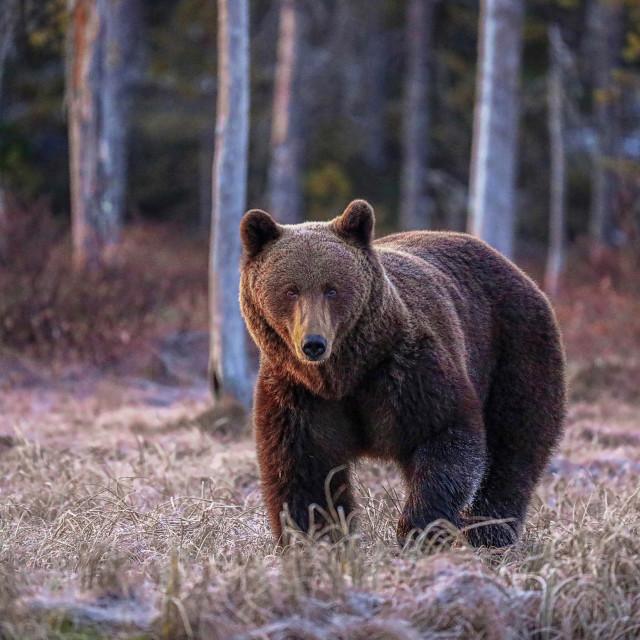 """Wild Brown bear"" stock image"