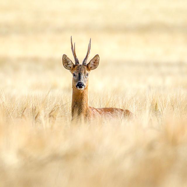 """Wild Roe buck"" stock image"