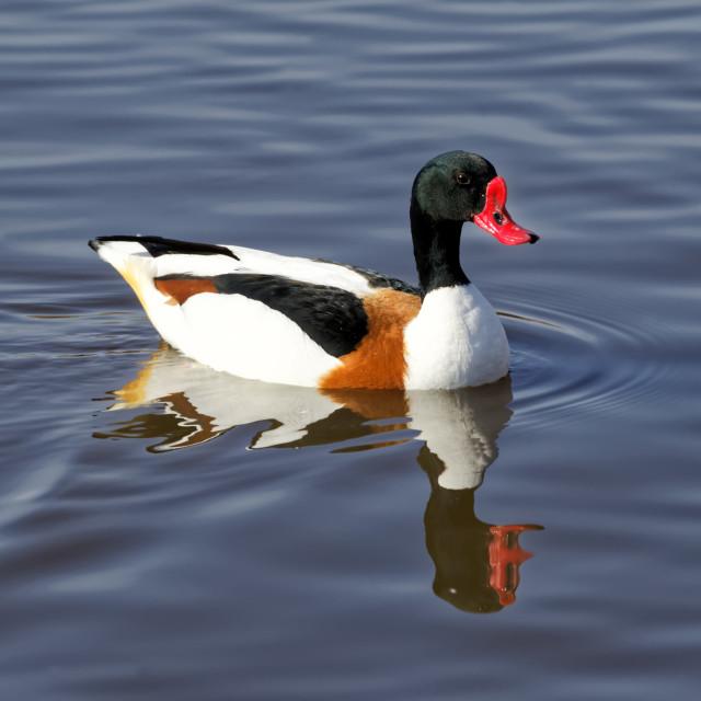 """A Common Shelduck (Tadorna tadorna) at Slimbridge Wetland Centre"" stock image"