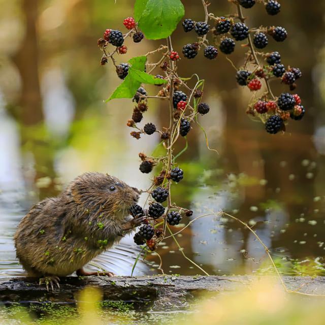"""Wild Watervole"" stock image"