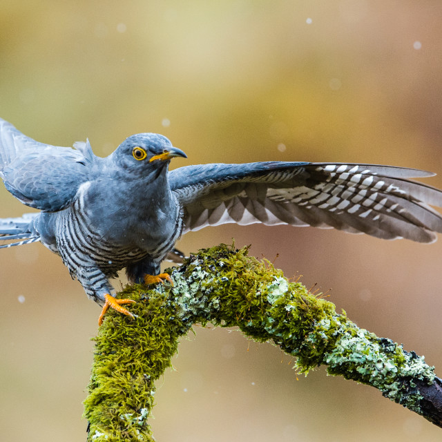 """Cuckoo in the rain"" stock image"