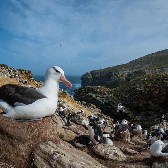 """Black browed albatross on nest"" stock image"
