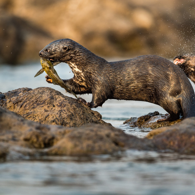 """""""Spotted neck otter with leopard squeaker"""" stock image"""