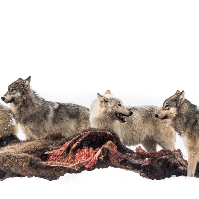 """""""A wolf pack at a bison kill"""" stock image"""