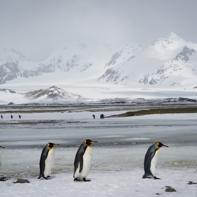 """King Penguins in South Georgia"" stock image"