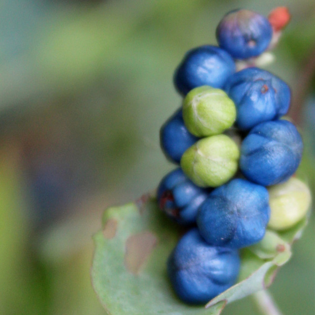 """blue berries on a vine"" stock image"