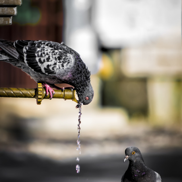 """Thirsty pigeon"" stock image"