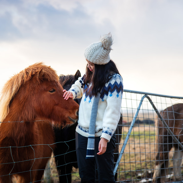 """Traveler making friends with adorable Icelandic horses"" stock image"