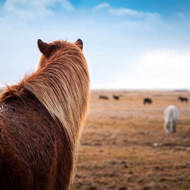 """Adorable Icelandic horses in the field, Iceland road trip"" stock image"