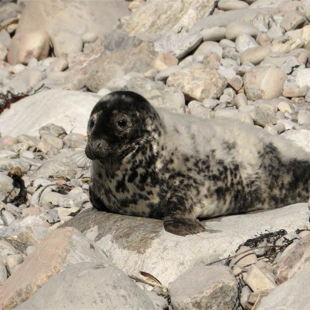 """""""Seal pup on Pembrokeshire beach."""" stock image"""