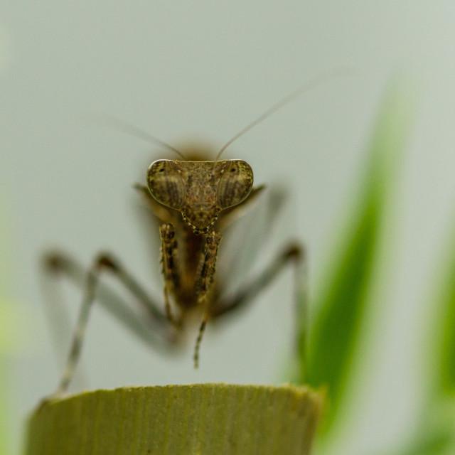 """The mantis"" stock image"