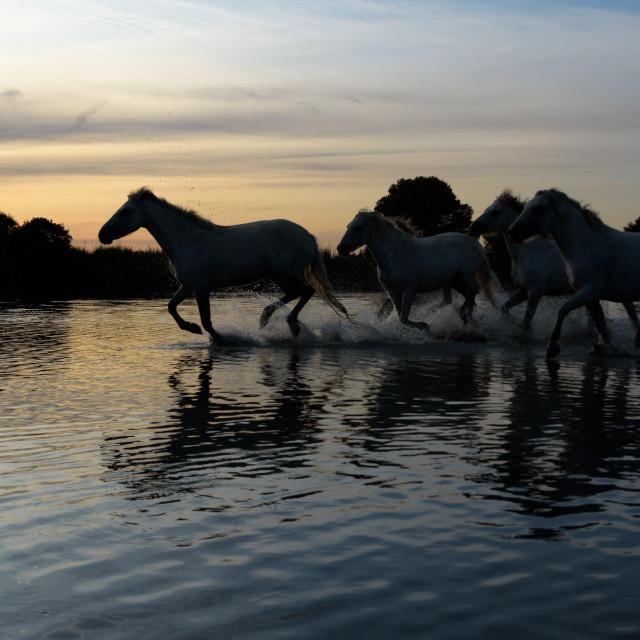 """White camargue horses running through the Marais ( marshes )"" stock image"
