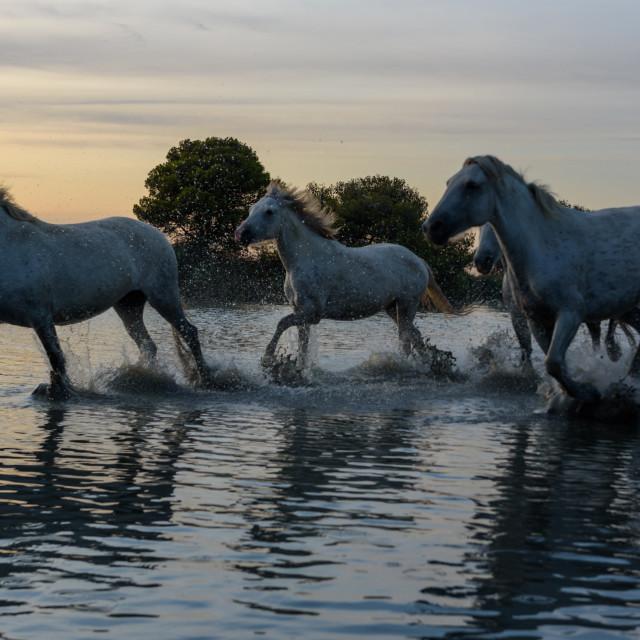 """White camargue horses running through the Marais ( marshes)"" stock image"