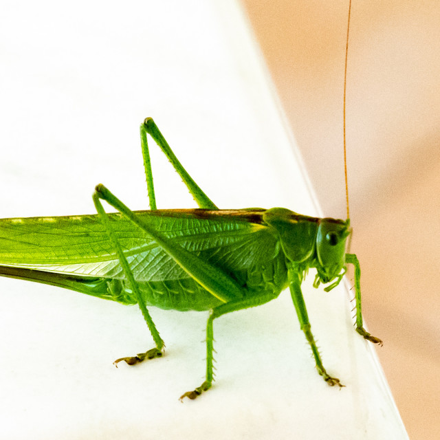 """""""Cricket on white table"""" stock image"""