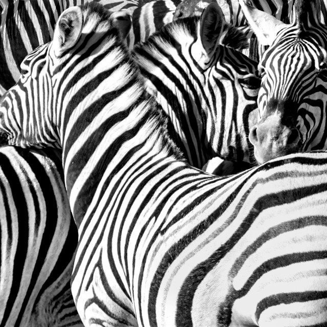 """Zebras black and white"" stock image"
