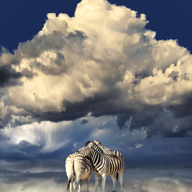 """""""Zebras reflecting in a pool of water"""" stock image"""
