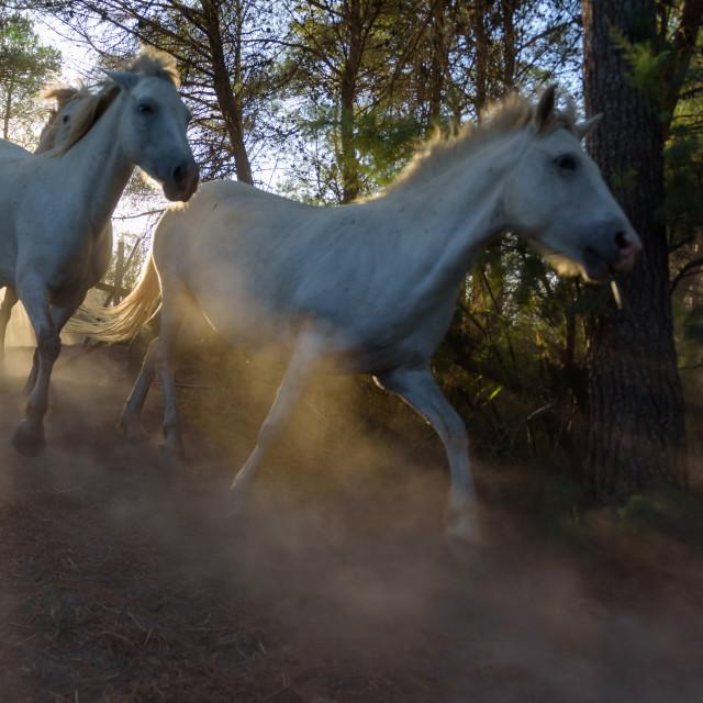 """White camargue horses running through the pine trees"" stock image"