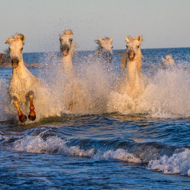 """White camargue horses running through sea"" stock image"