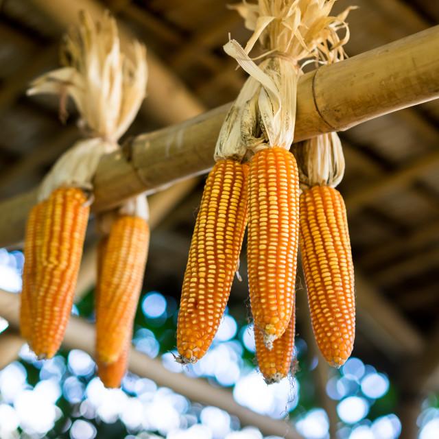 """Fresh sweet golden maize"" stock image"