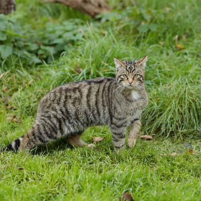 """The Scottish wildcat"" stock image"