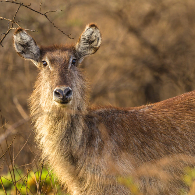 """Wildlife Waterbuck Animal Wilderness"" stock image"