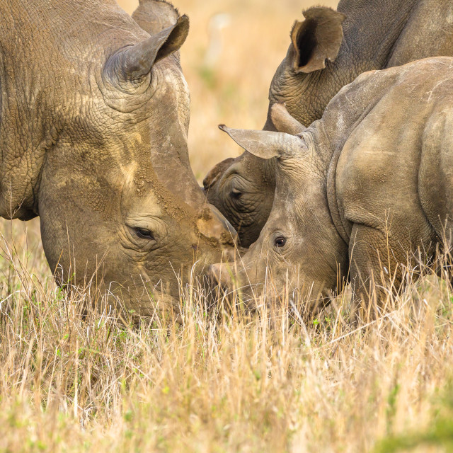 """Rhino's Father Mother Cub Affections Wildlife"" stock image"