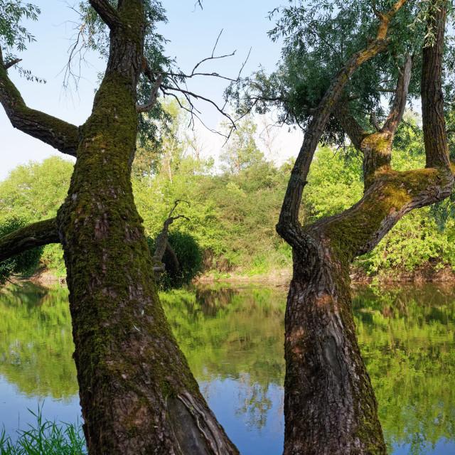 """Old tree"" stock image"