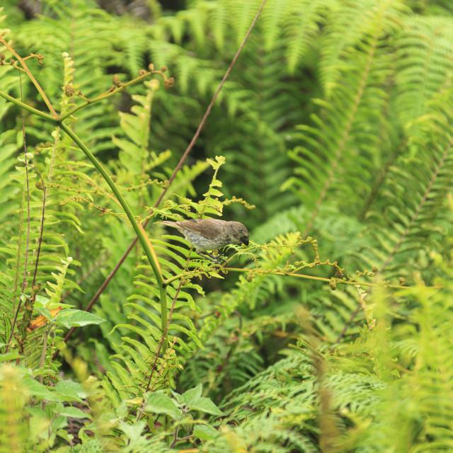 """1171 - Galápagos: a female Medium Ground Finch"" stock image"