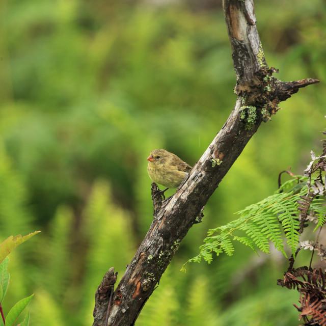 """1172 - Galápagos: an immature Medium Ground Finch"" stock image"