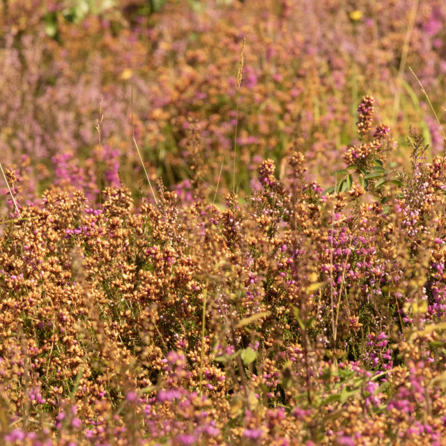 """Textures of the early Autumn heath iii"" stock image"