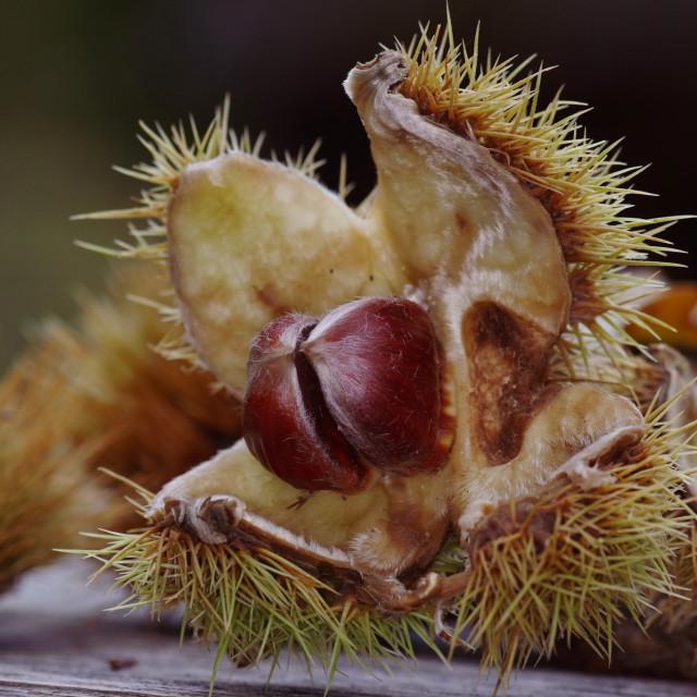 """Sweet chestnut demogorgon"" stock image"