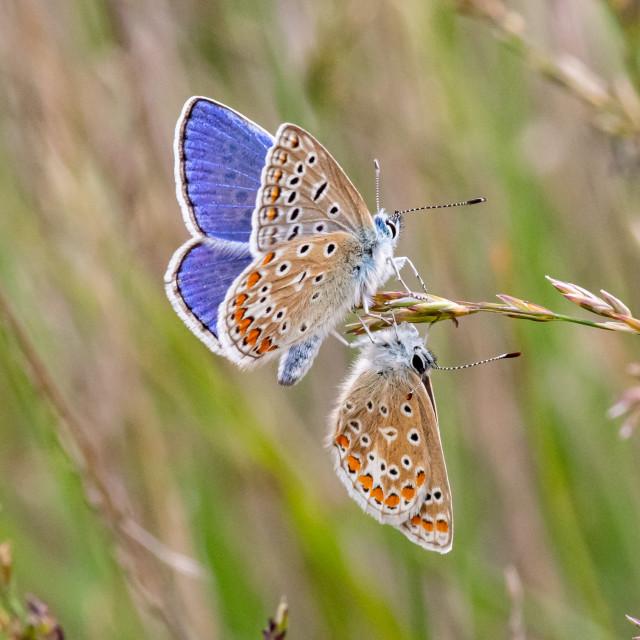 """Common blue beauties"" stock image"