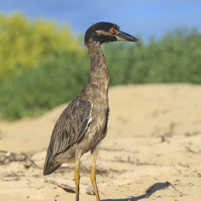 """""""1214 - Galápagos: an immature Yellow-crowned Night Heron on the beach"""" stock image"""