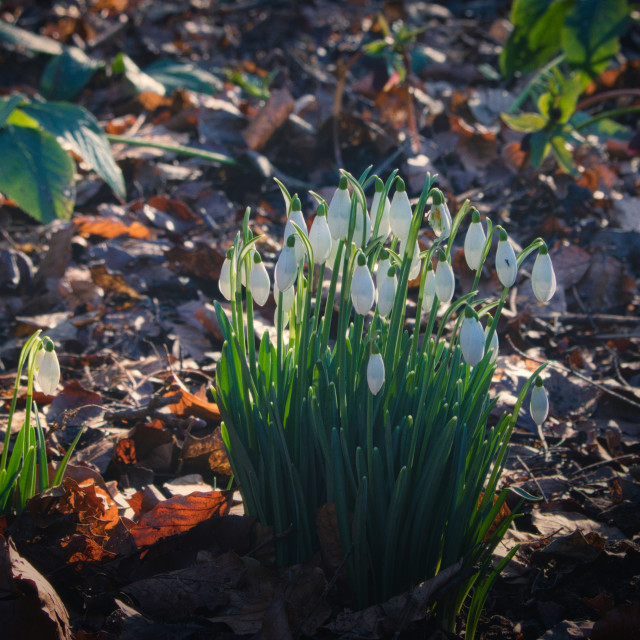 """Snowdrops in a Sunbeam"" stock image"