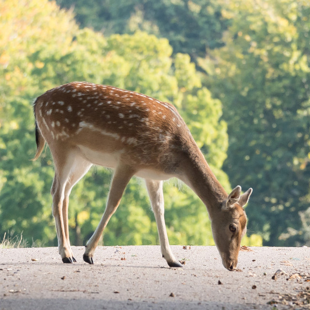 """Gentle Female Fallow Deer"" stock image"