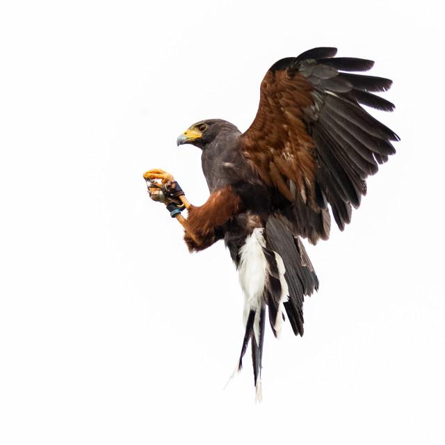 """Harris Hawk (Parabuteo unicinctus) catching small prey against white sky"" stock image"
