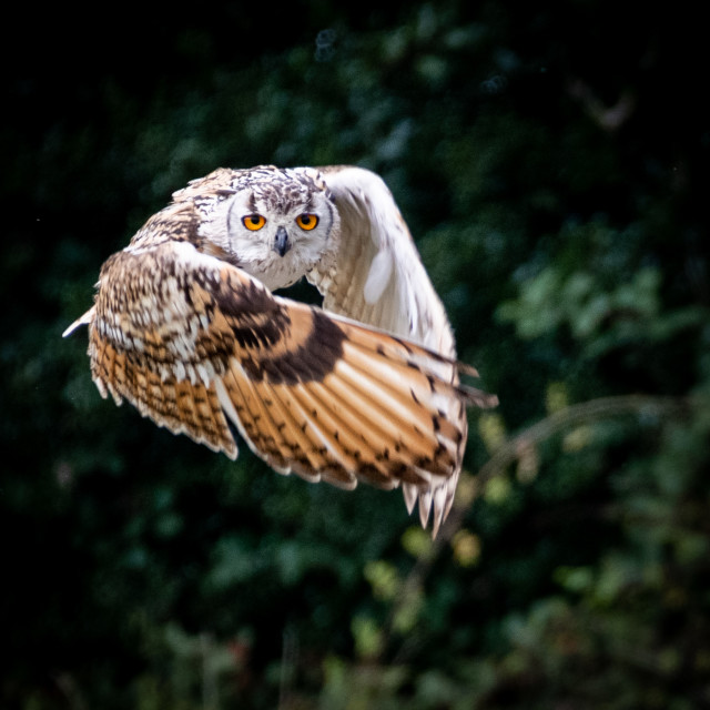 """""""Bengal Eagle Owl in flight, wings wrapped around like a cape"""" stock image"""