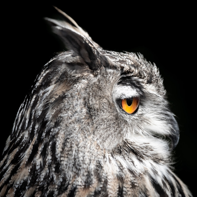 """""""Close-up portrait of an owl in profile"""" stock image"""