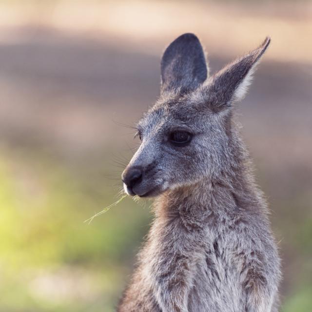 """Kangaroo"" stock image"