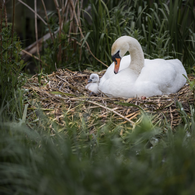 """""""Swan and Cygnet"""" stock image"""
