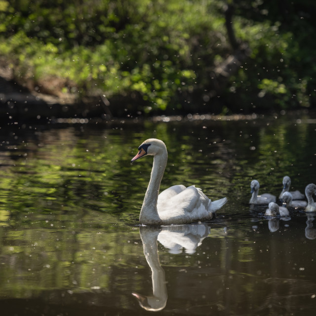 """""""Swan and Cygnets"""" stock image"""