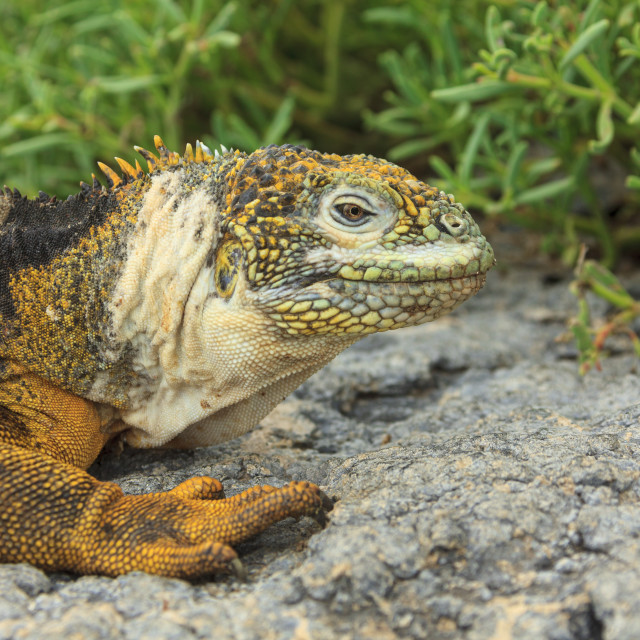 """2238 - Galápagos: Profile of a Land Iguana (1)"" stock image"
